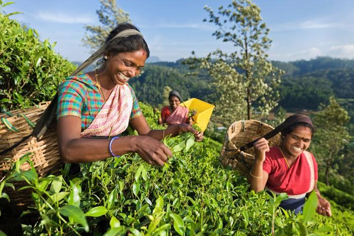 Какой зеленый чай лучше - однозначно Цейлонский!