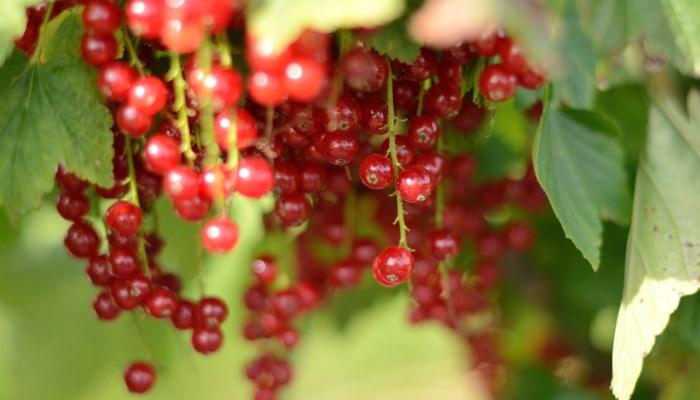 Рейтинг самых полезных ягод и таблицы сравнения с красной смородиной