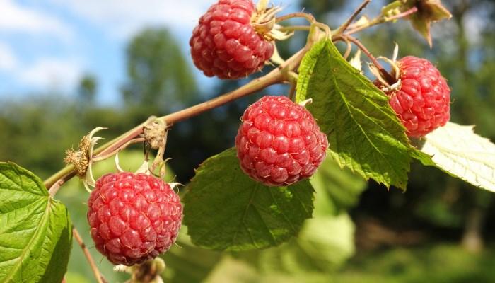 Какие ягоды полезны? Малина